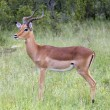Impala Antelope — Stock Photo #1899022
