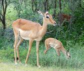 Impala antelope — Stockfoto