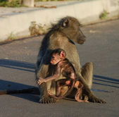 Baboon in Africa — Stock Photo