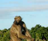 Baboon (Papio ursinus) — Stock Photo
