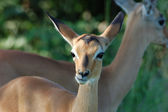 Africa Wildlife: Impala — Stockfoto