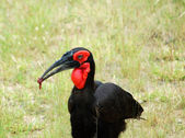 African Birds: Ground Hornbill — Stock Photo