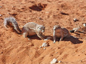Ground Squirrel (Xerus inaurus) — Stock Photo