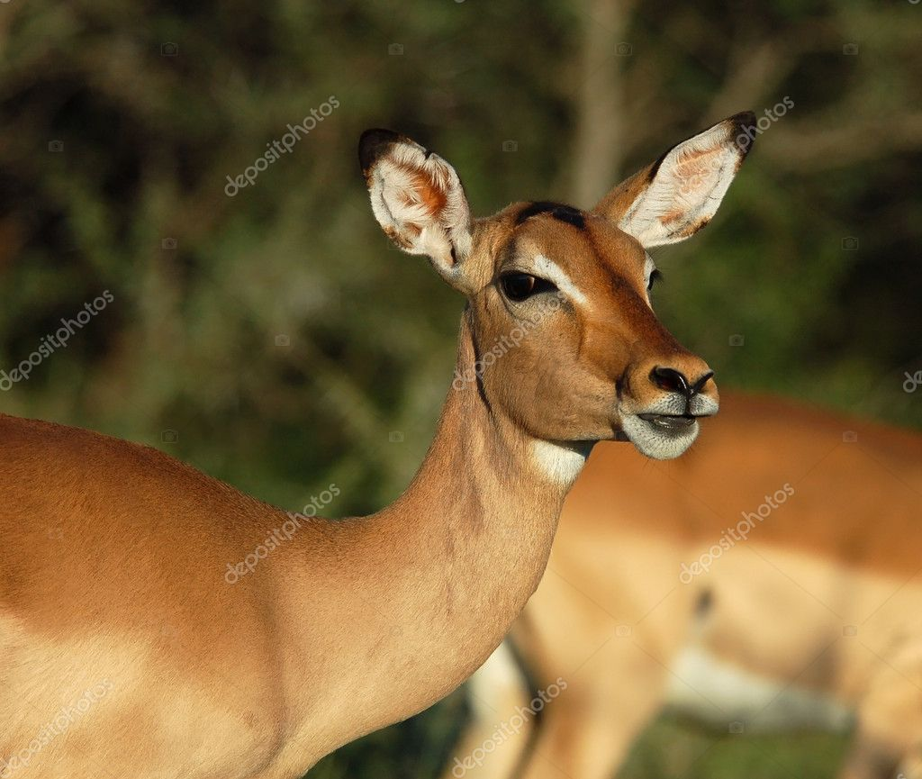 Female Impala Antelope (Aepyceros Melampus) in the Kruger Park, South Africa. — Stock Photo #1899005