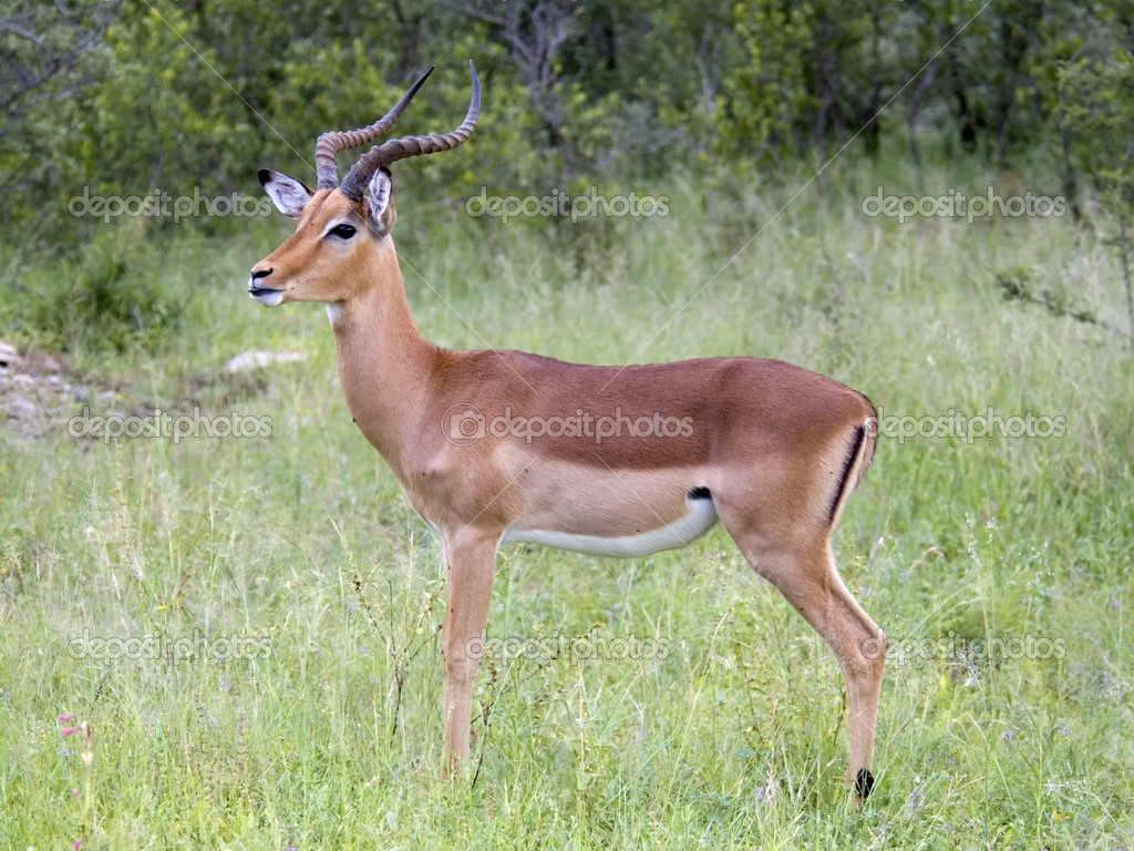 Male Impala Antelope in South Africa. — Stock Photo #1899022