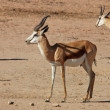 Springbok antelope — Stock Photo