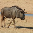 Blue wildebeest — Stock Photo #1900273