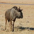 Blue wildebeest — Stock Photo #1900284