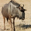 Blue wildebeest — Stock Photo #1900295