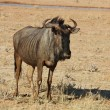 Blue wildebeest (Connochaetes taurinus) — Stock Photo #1900313