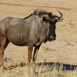 Blue wildebeest — Stock Photo #1900326