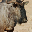Blue wildebeest — Stock Photo #1900343