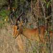 Impala Antelope — Stock Photo #1900428