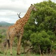 Giraffe in Africa - Stock Photo