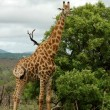 Giraffe in Africa — Stock Photo #1900617