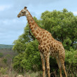 Giraffe in Africa — Stock Photo #1900641