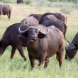 Cape Buffalo — Stock Photo