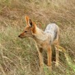 Black-backed Jackal - Stock Photo