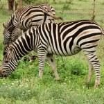 Burchell's Zebra in Africa — Stock Photo #1901025