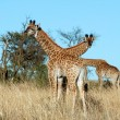 Stock Photo: Young Giraffes in Africa