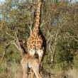 Stock Photo: Giraffe Mother and Daughter