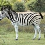 Burchell's Zebra in Africa — Stock Photo #1901391