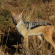 Royalty-Free Stock Photo: Blackbacked Jackal