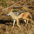 Royalty-Free Stock Photo: Black-backed Jackal