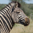 Burchell's Zebra — Stock Photo