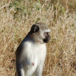 Royalty-Free Stock Photo: Vervet Monkey