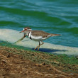 Three-banded Plover — Stock Photo