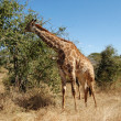 Stock Photo: Female Giraffe