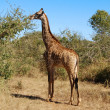 Stock Photo: Female Giraffe in Africa