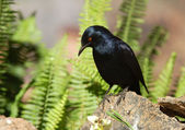 Palewinged Starling — Stockfoto