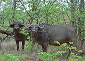 Cape Buffalo wild in Africa — Stock Photo