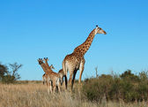 Giraffe in Africa — Stock Photo