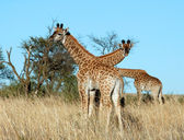 Young Giraffes in Africa — Stock Photo
