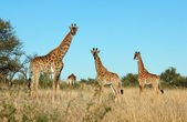 Giraffe family in Africa — Stock Photo