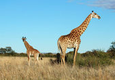 Giraffe cow and calve in Africa — Stock Photo