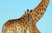 Giraffe baby — Stock Photo