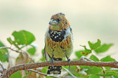 Crested Barbet — Stock Photo