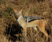 Blackbacked Jackal — Stock Photo