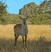 Waterbuck Antelope — Stock Photo