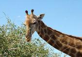 Weibliche giraffe — Stockfoto