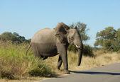 Wildlife: African Elephant — Stock Photo