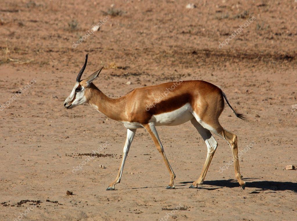 Springbok antelope — Stock Photo © Chriskruger #1900258