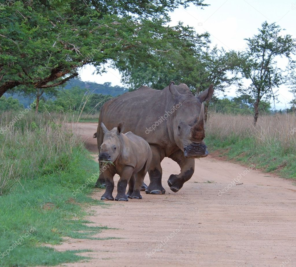 A White Rhinoceros (Ceratotherium simum) female with a young calf. — Stock Photo #1900487