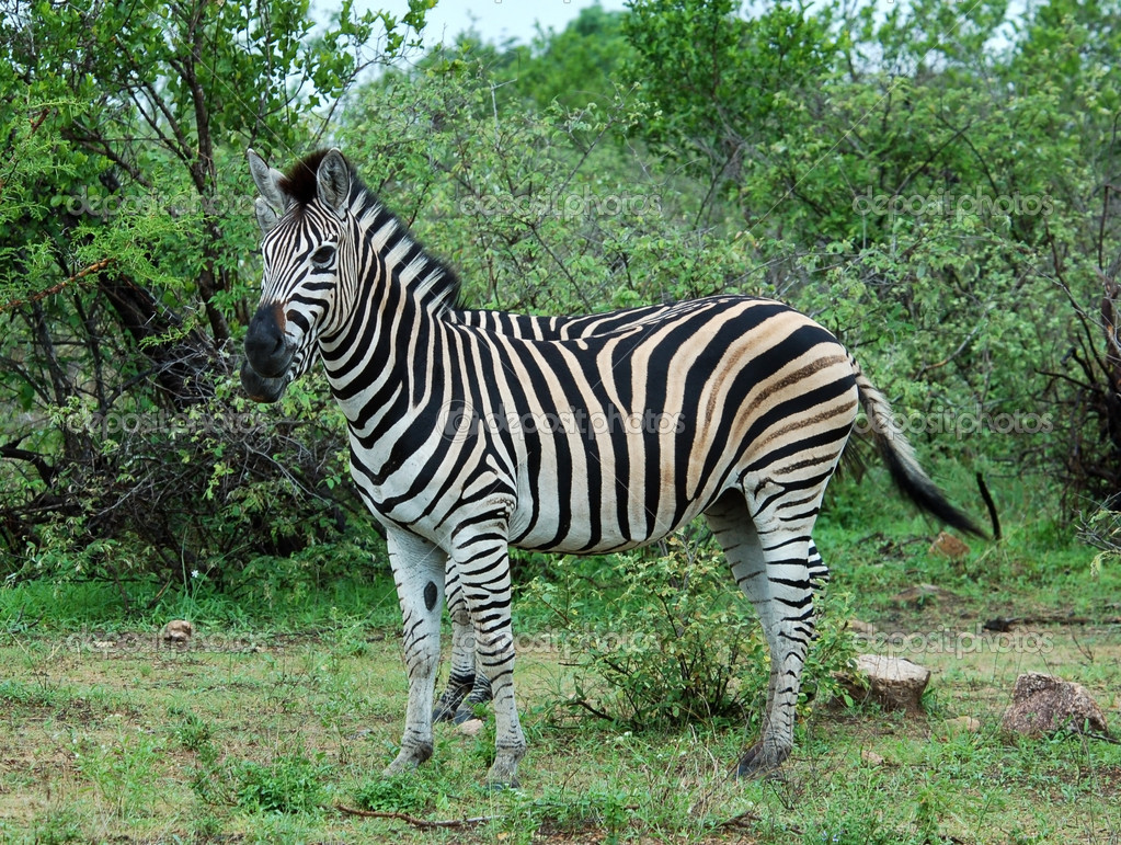 A Burchells Zebra (Equus quagga burchelli) in the Kruger Park, South Africa. — Stock Photo #1900567