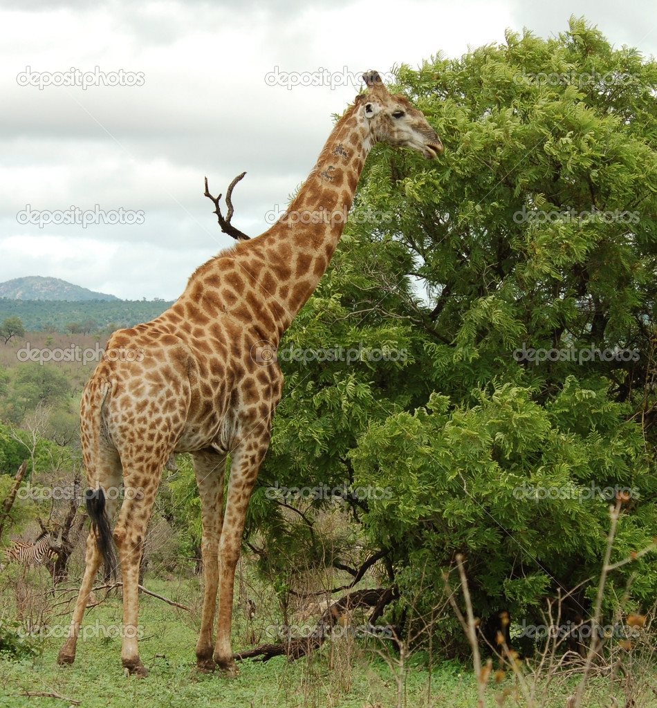 Male Giraffe with battle scars on the neck in the bushveld of Kruger Park, South Africa. — Stock Photo #1900605