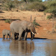 Постер, плакат: African Elephants in South Africa